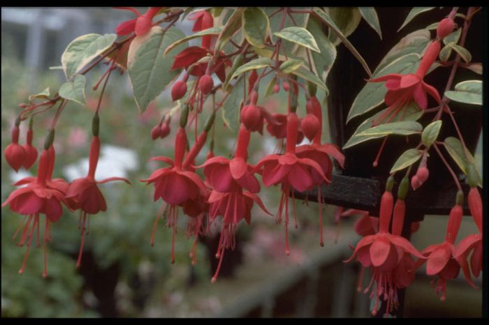 fuchsia 'Golden Marinka'