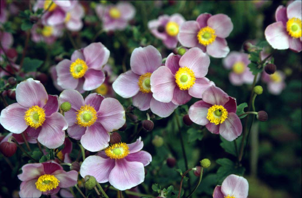 Japanese anemone 'Praecox'