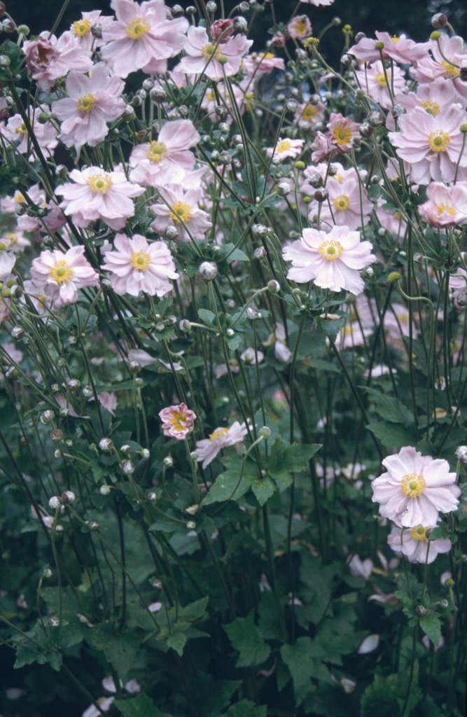 Japanese anemone 'K&#246
