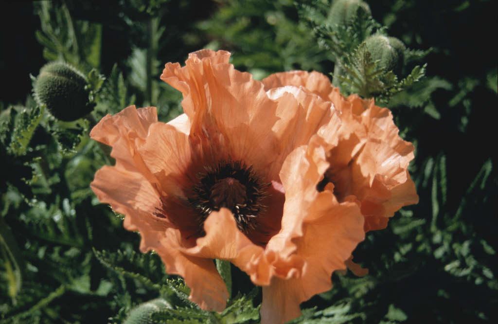 oriental poppy 'Effendi'