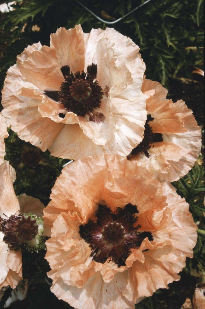 oriental poppy 'Khedive'