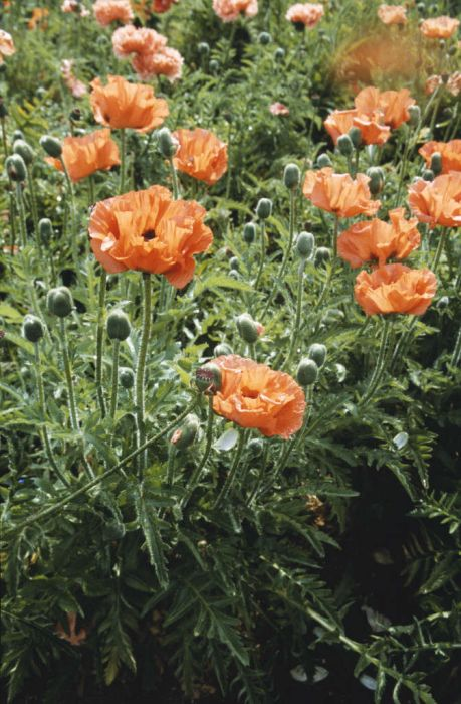 oriental poppy 'Leuchtfeuer'