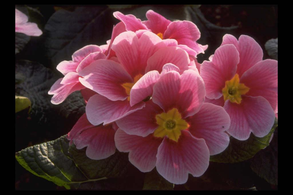 primrose Charisma Series
