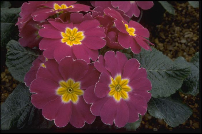 primrose 'Danova Purple, White Edge'