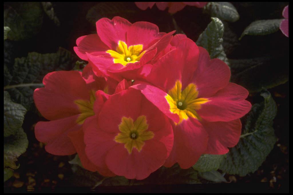 primrose 'Danova Rose'