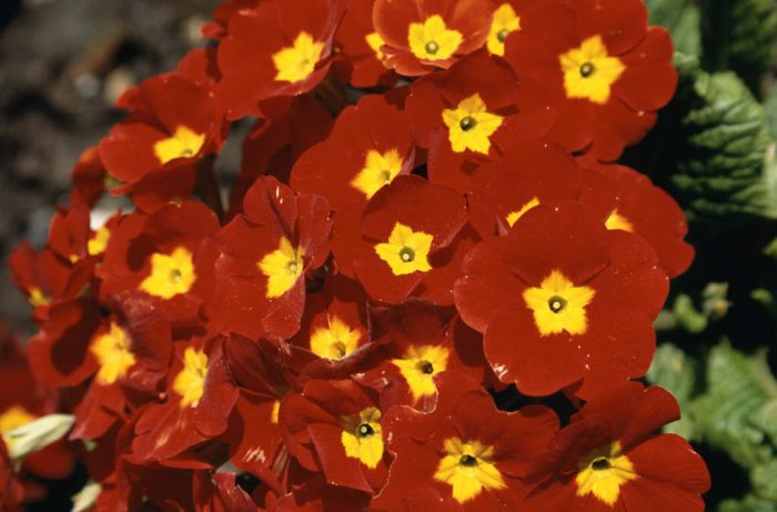 polyanthus 'Crescendo Bright Red'
