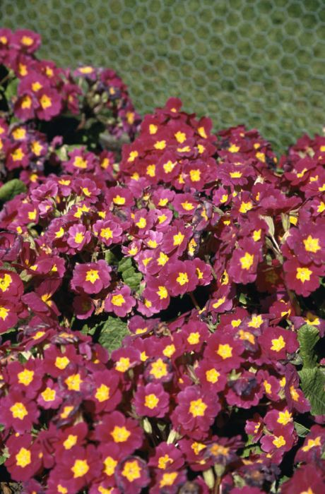 polyanthus 'Crescendo Pink and Rose Shades'