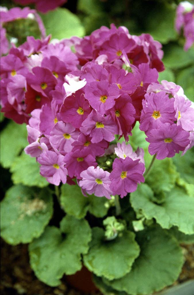 German primrose 'Libre Magenta'