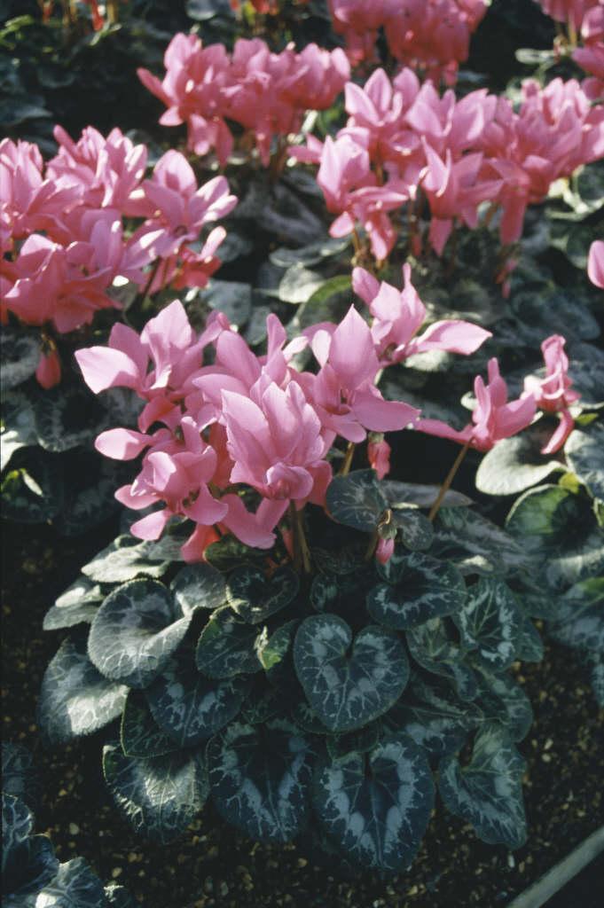cyclamen 'Halios Bright Fuchsia'