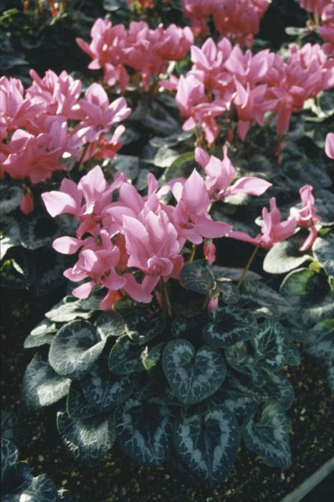 <i>Cyclamen persicum</i> 'Halios Bright Fuchsia'