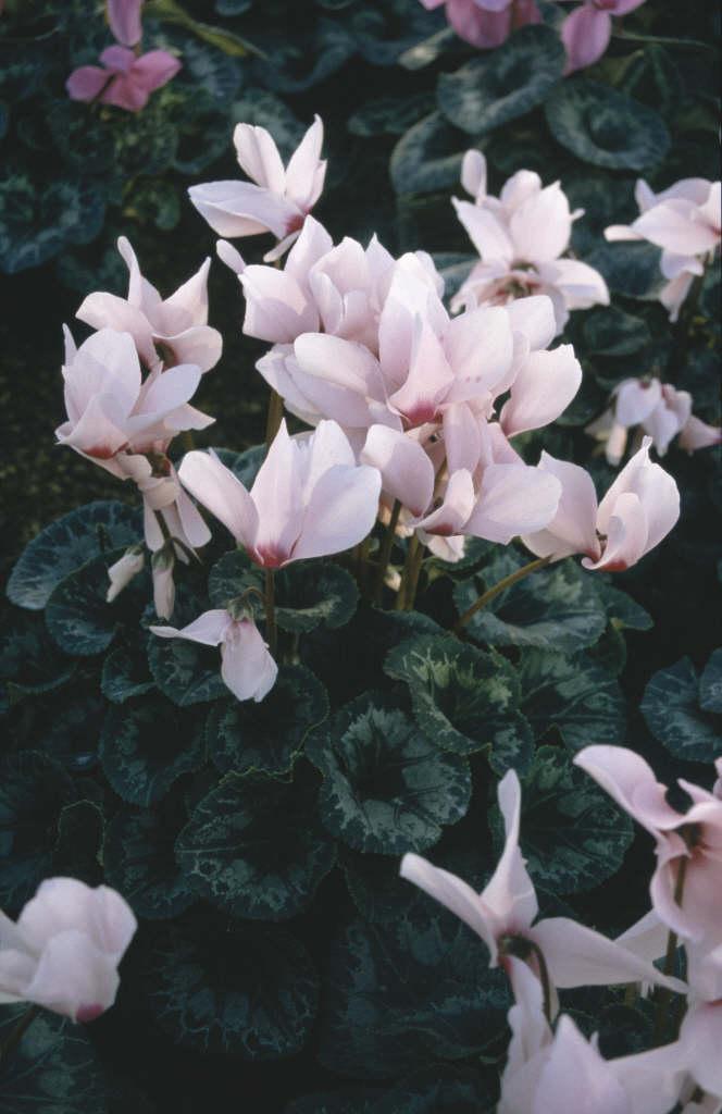 cyclamen 'Sierra Pink with Eye'