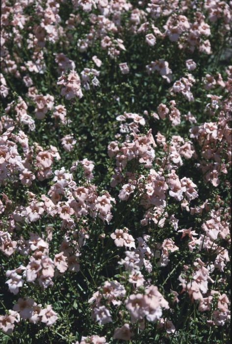 twinspur 'Blackthorn Apricot'