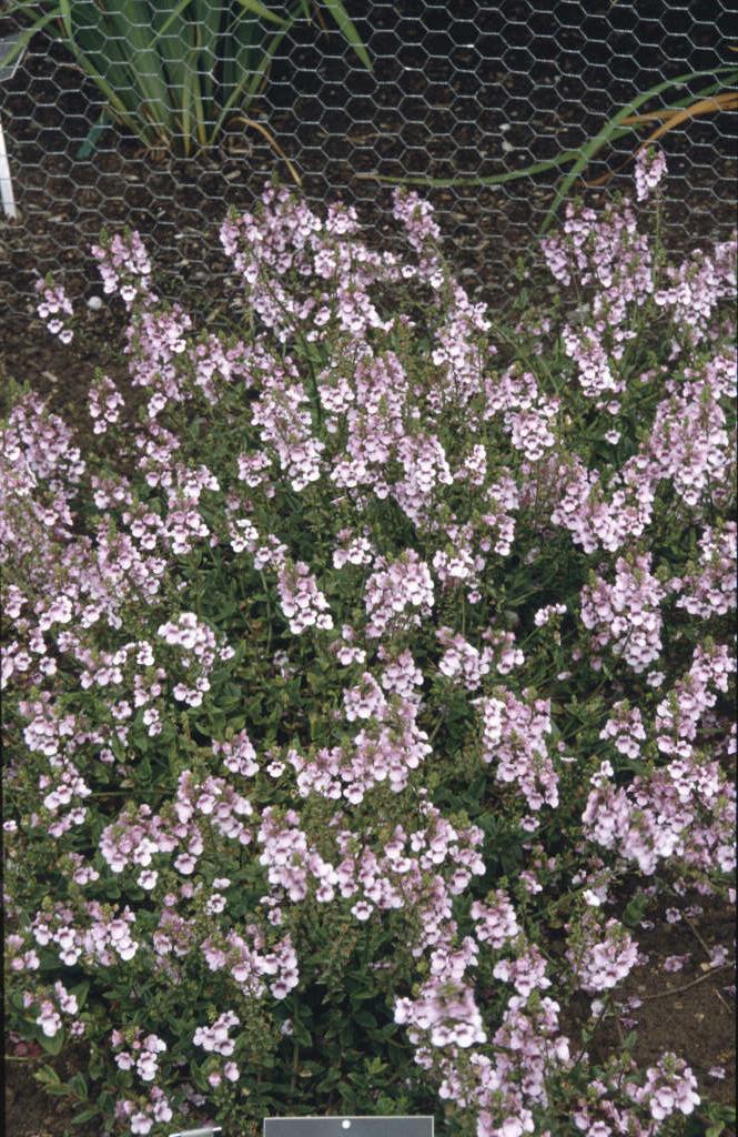 twinspur 'Lilac Mist'