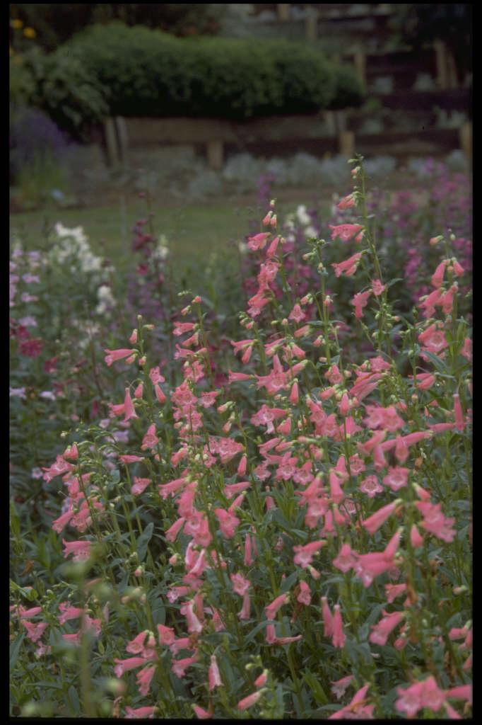 penstemon 'Connie's Pink'