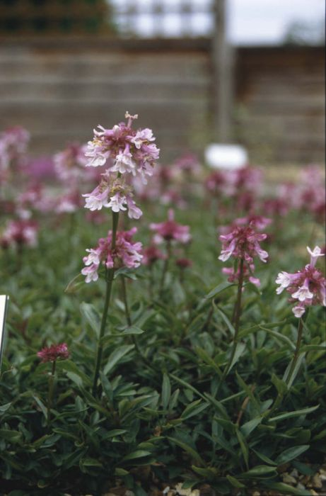 penstemon 'Roy Davidson'