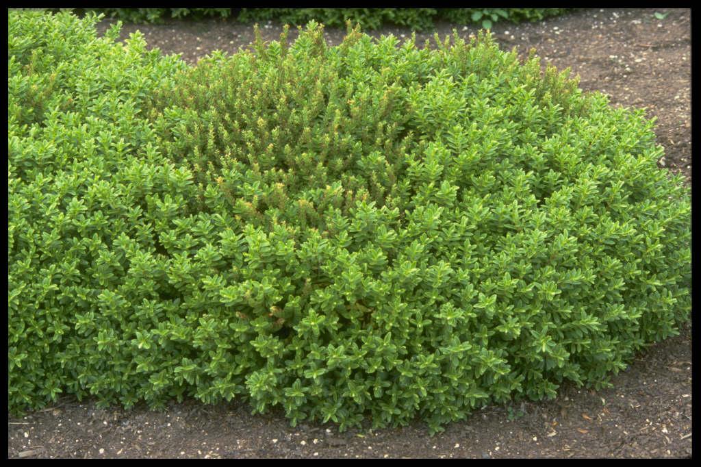 Hebe rakaiensis rakai hebe rhs gardening for Hebe pianta