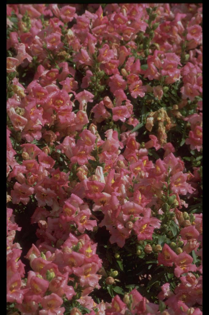 <i>Antirrhinum majus</i> 'Bells Pink' (Bells Series)