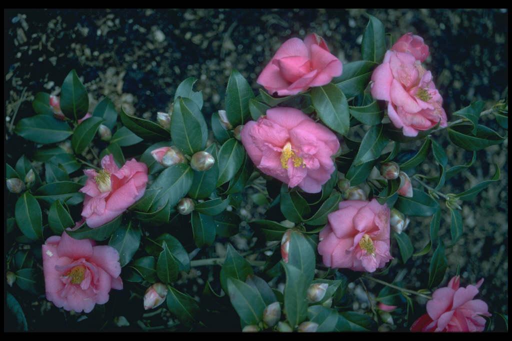 camellia 'George Blandford'