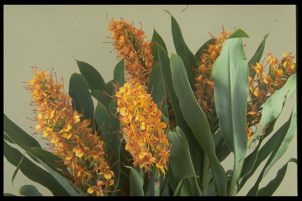 ginger lily 'Tara'