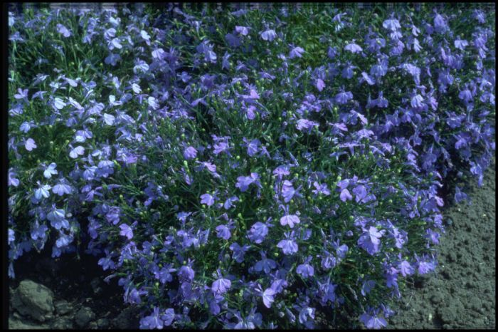 trailing lobelia 'Cambridge Blue'