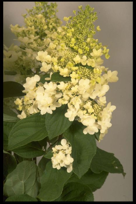 paniculate hydrangea 'Unique'