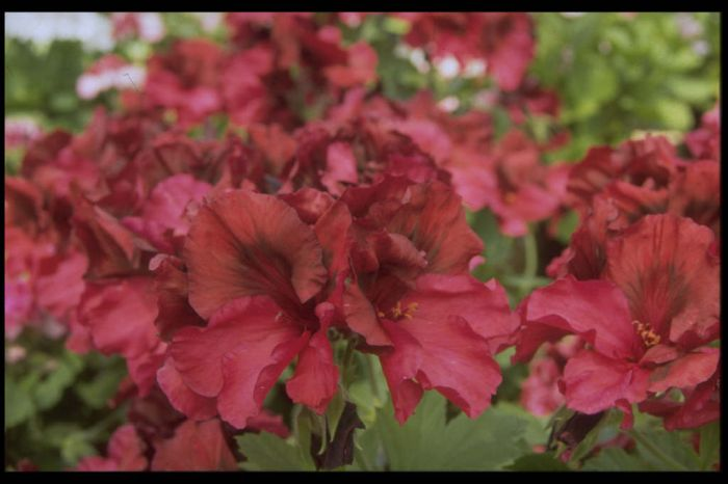 pelargonium 'Ann Hoystead'