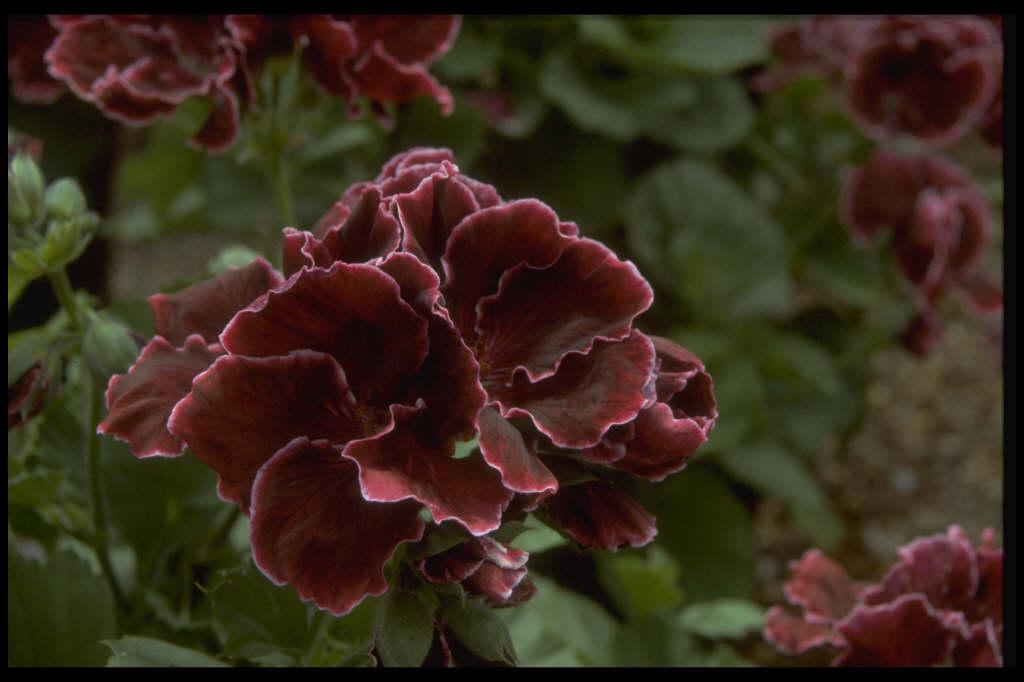 pelargonium 'Bodey's Picotee'