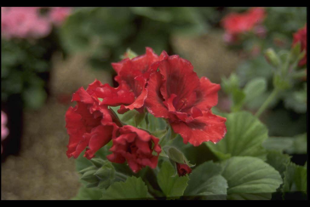 pelargonium 'Bushfire'