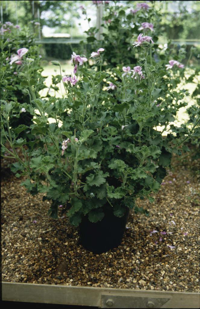 pelargonium 'Citriodorum'