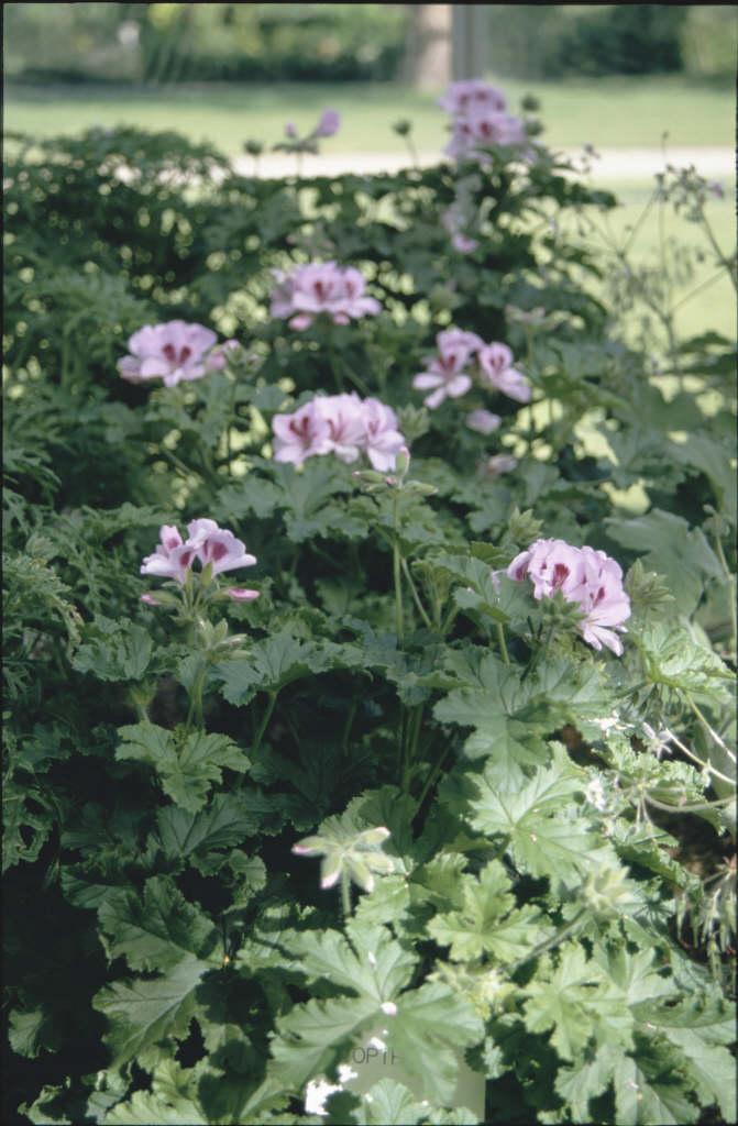 pelargonium 'Copthorne'