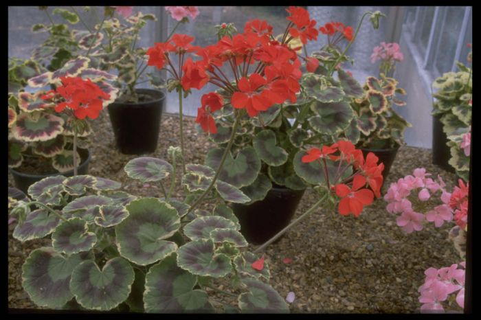 pelargonium 'Dolly Varden'
