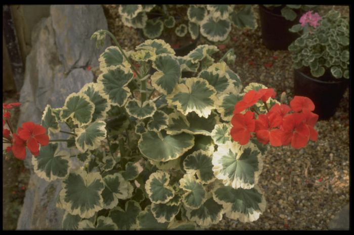 pelargonium 'Flower of Spring'