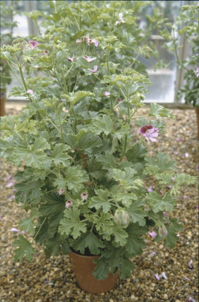 pelargonium 'Gemstone'