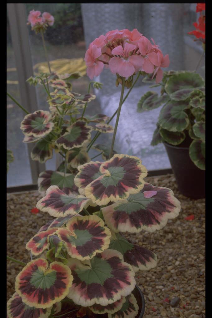 pelargonium 'Mr Henry Cox'