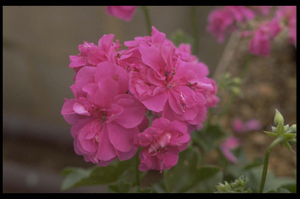 <i>Pelargonium</i> 'Rodomont' (I)