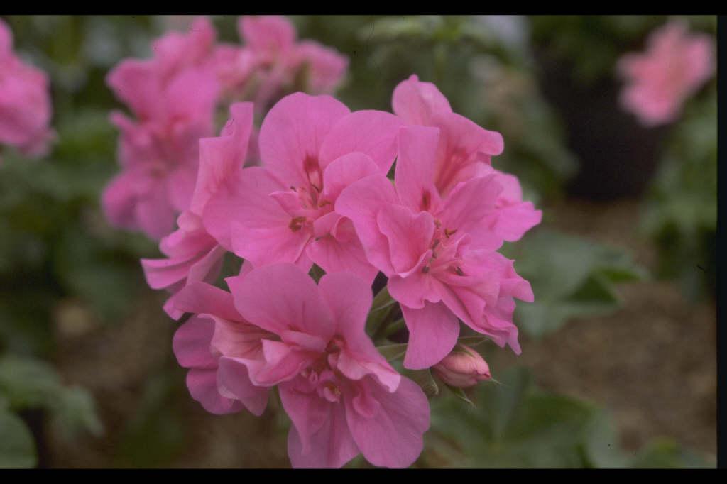 pelargonium [Rosais]