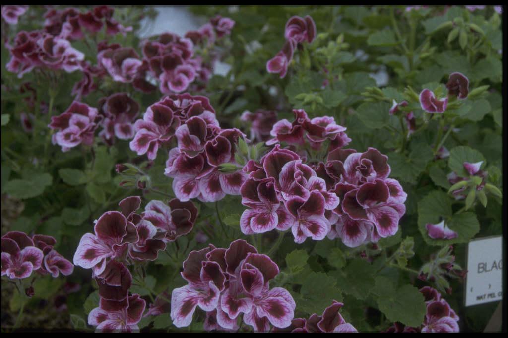 pelargonium 'Spanish Angel'
