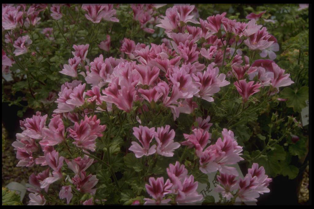 <i>Pelargonium</i> 'The Barle' (A)