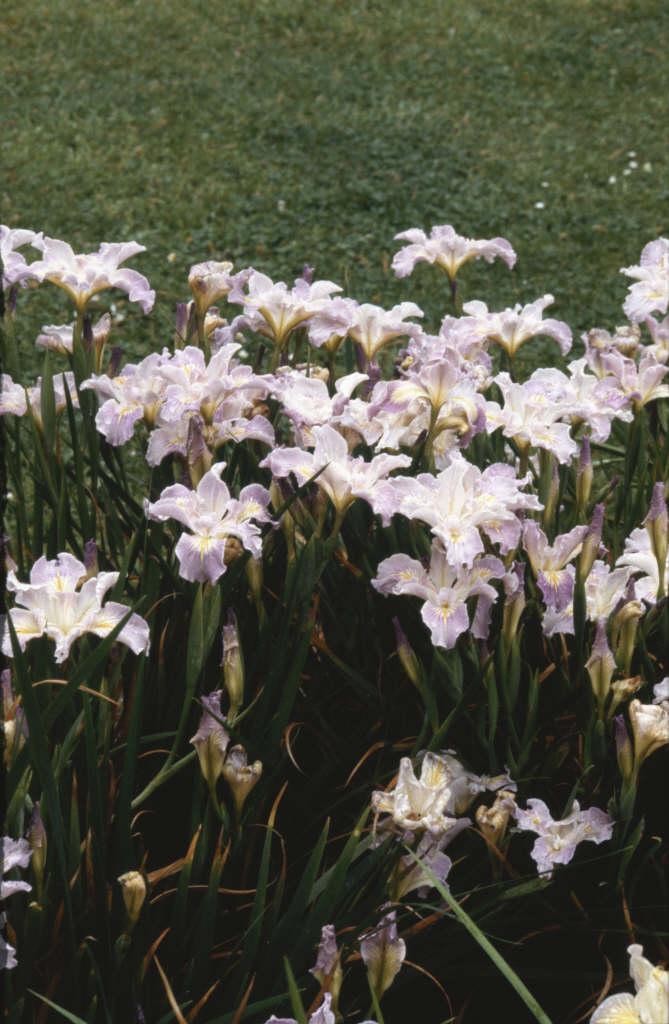 iris 'Ring o' Roses'