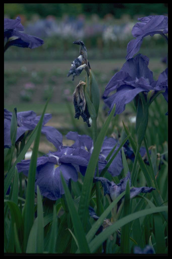Japanese water iris 'Southern Son'