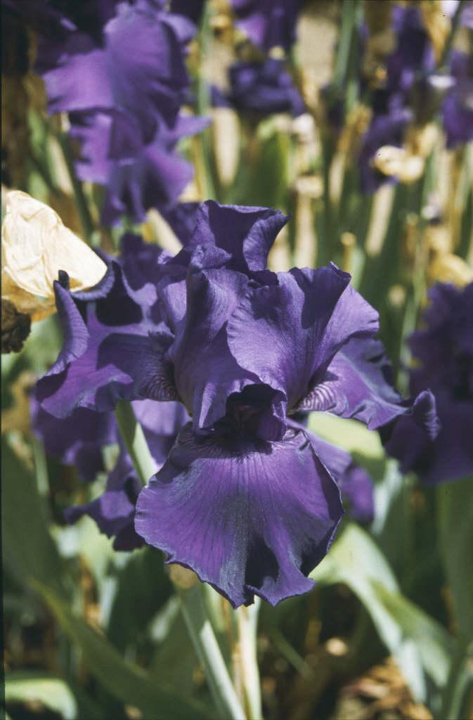 iris 'Titan's Glory'