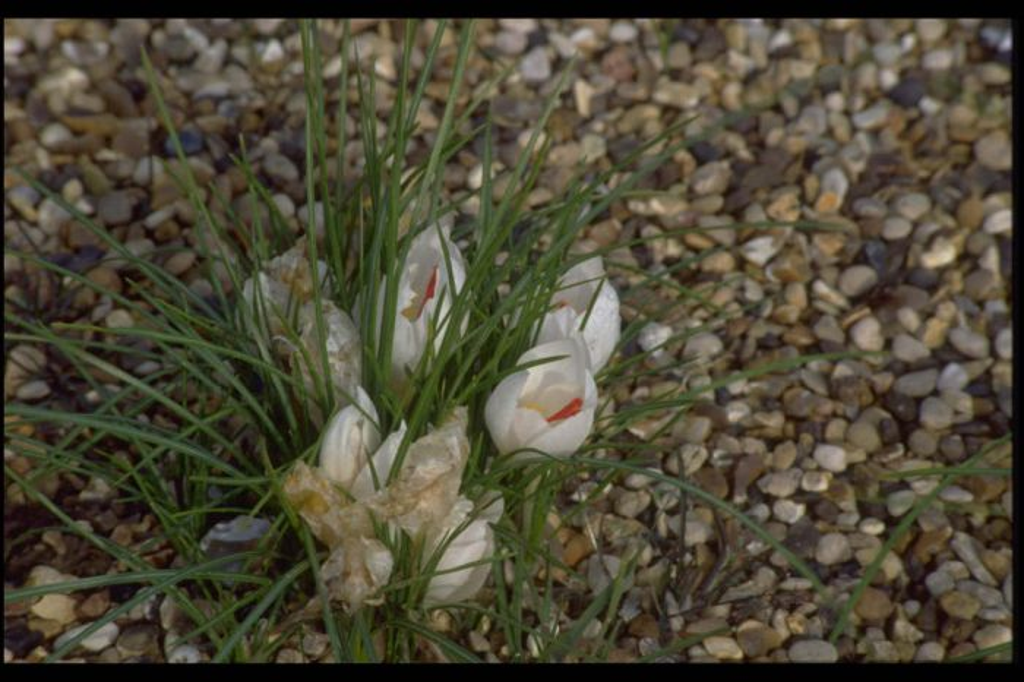 white wild saffron