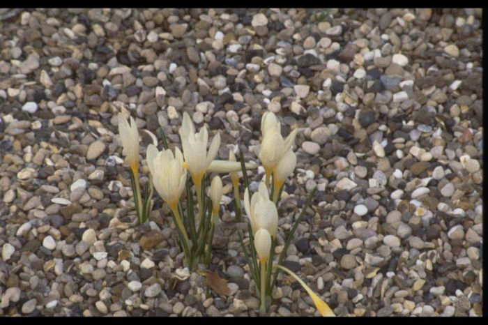 straw-coloured crocus