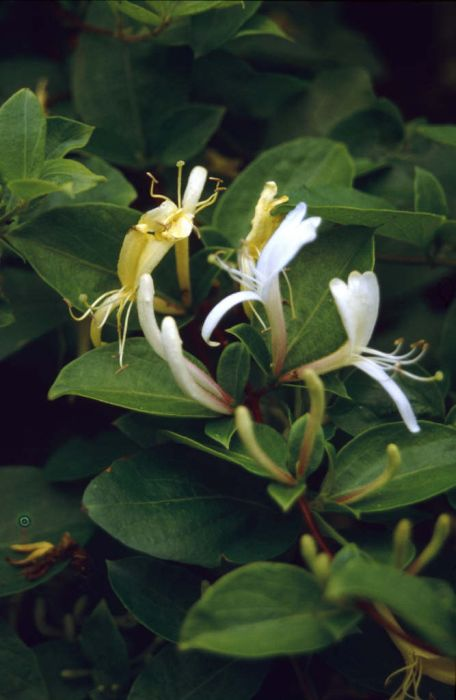 Hall's Japanese honeysuckle