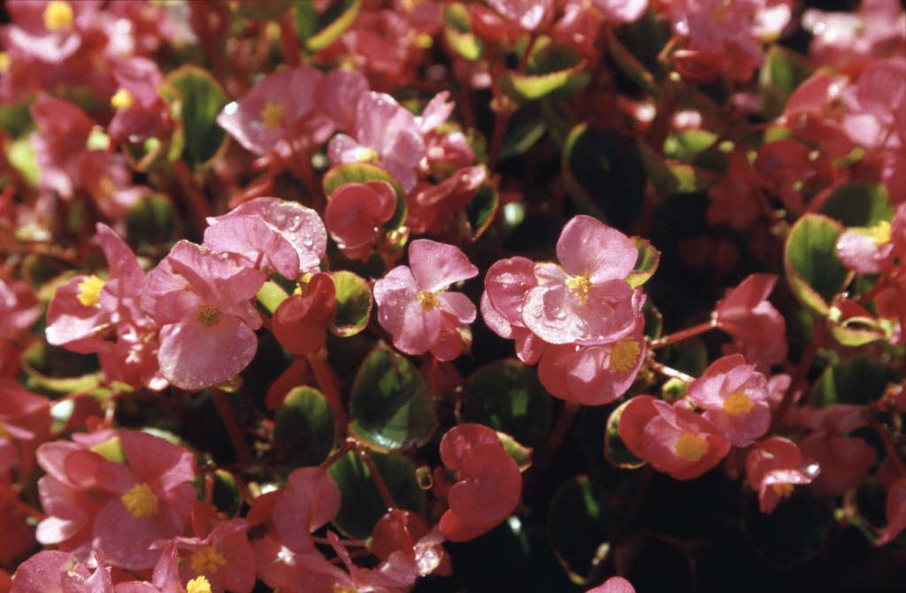 begonia 'Ambassador Rose'