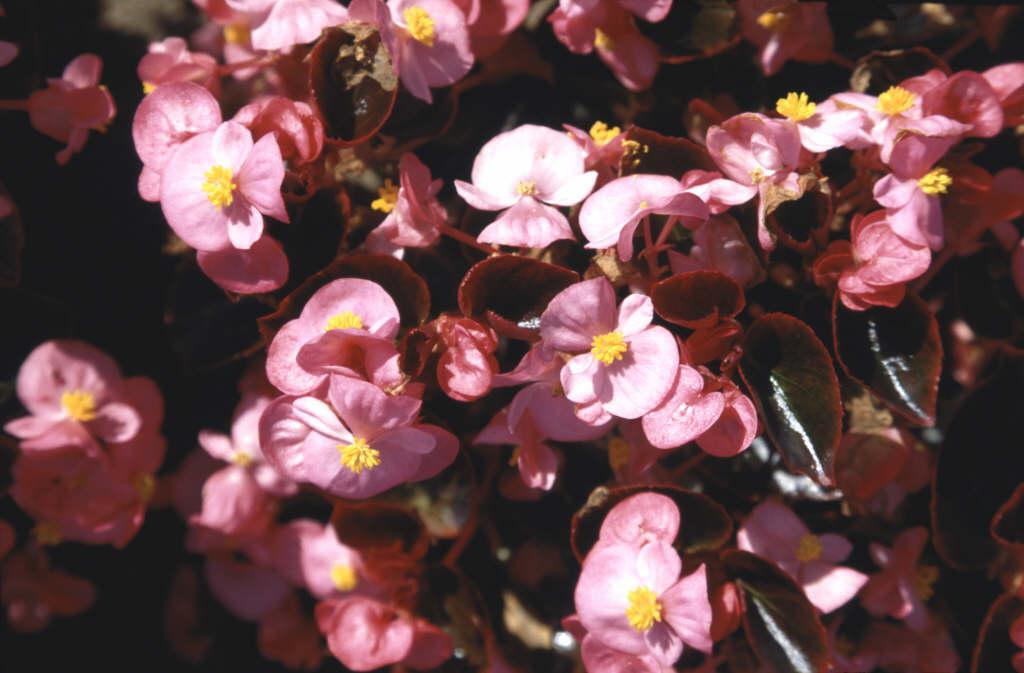 begonia 'Expresso Rose'