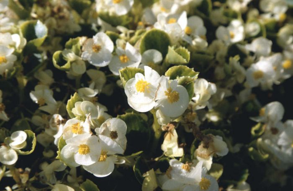 begonia 'Olympia White'