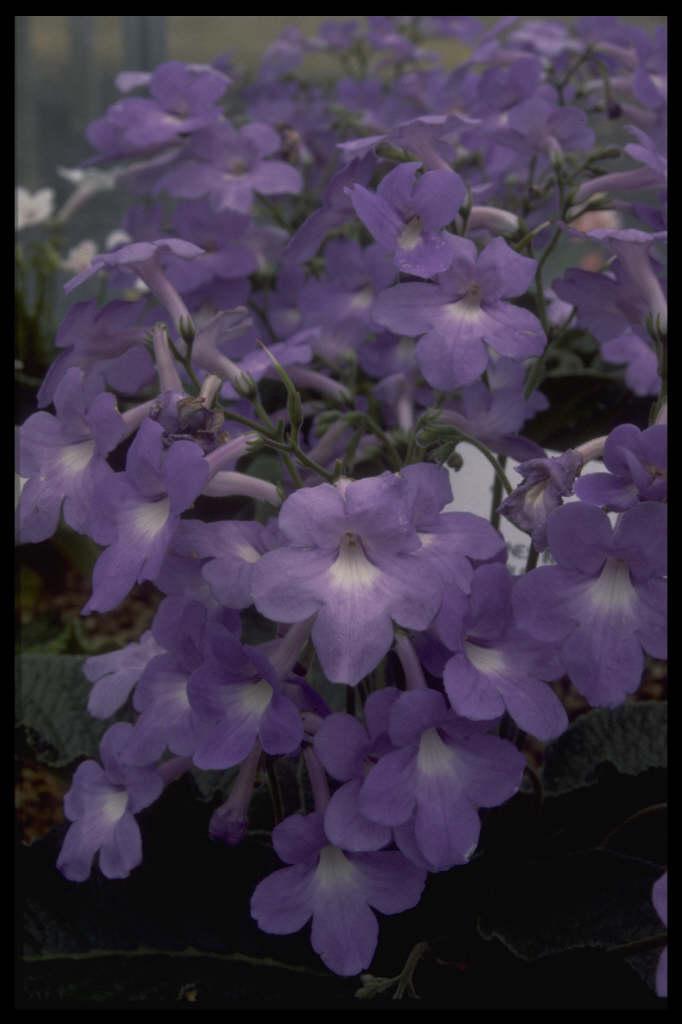 Cape primrose 'Helen'