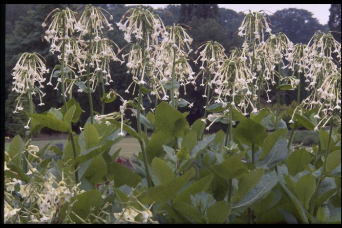 flowering tobacco