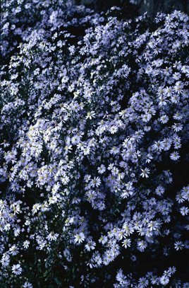 aster 'Photograph'